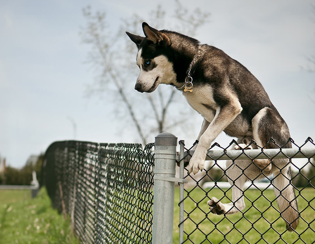 husky jumping chin link fence
